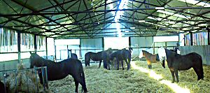 Horses indoors for the winter